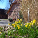 Osterglocken blühen