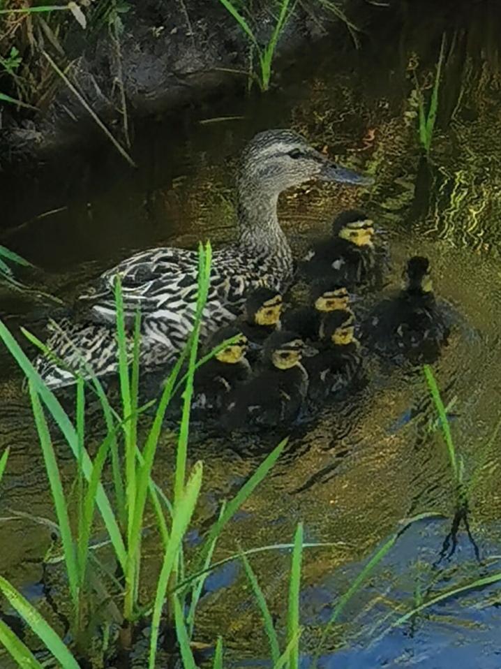 Read more about the article Enten-Nachwuchs auf dem Teich