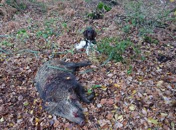 Jagd, Wildschwein,Hund
